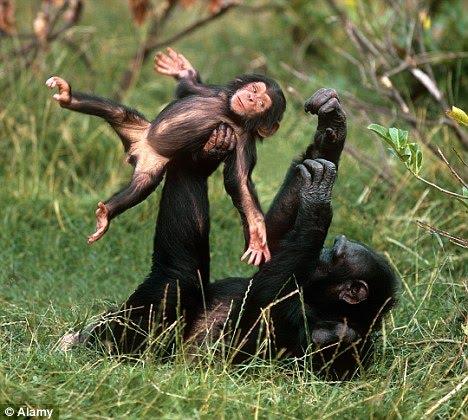 funny animal 2 chimpanzes funny Funny Animal Photo Gallery #2
