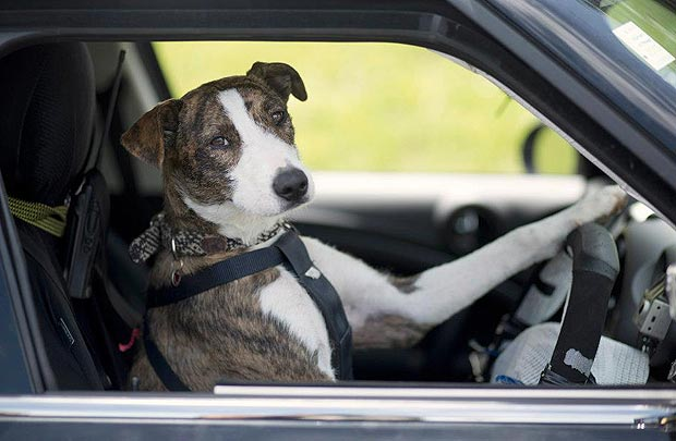 rescue-dogs-trained-to-drive-cars