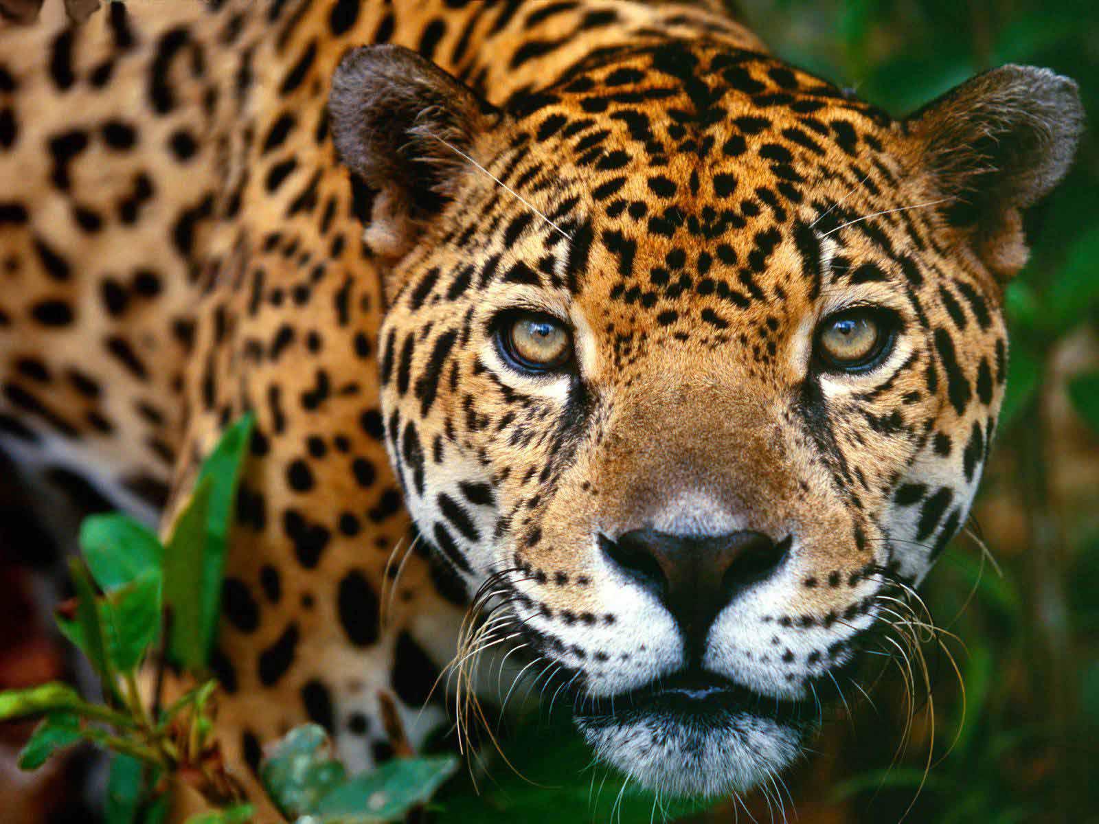 jaguarbrasilia1