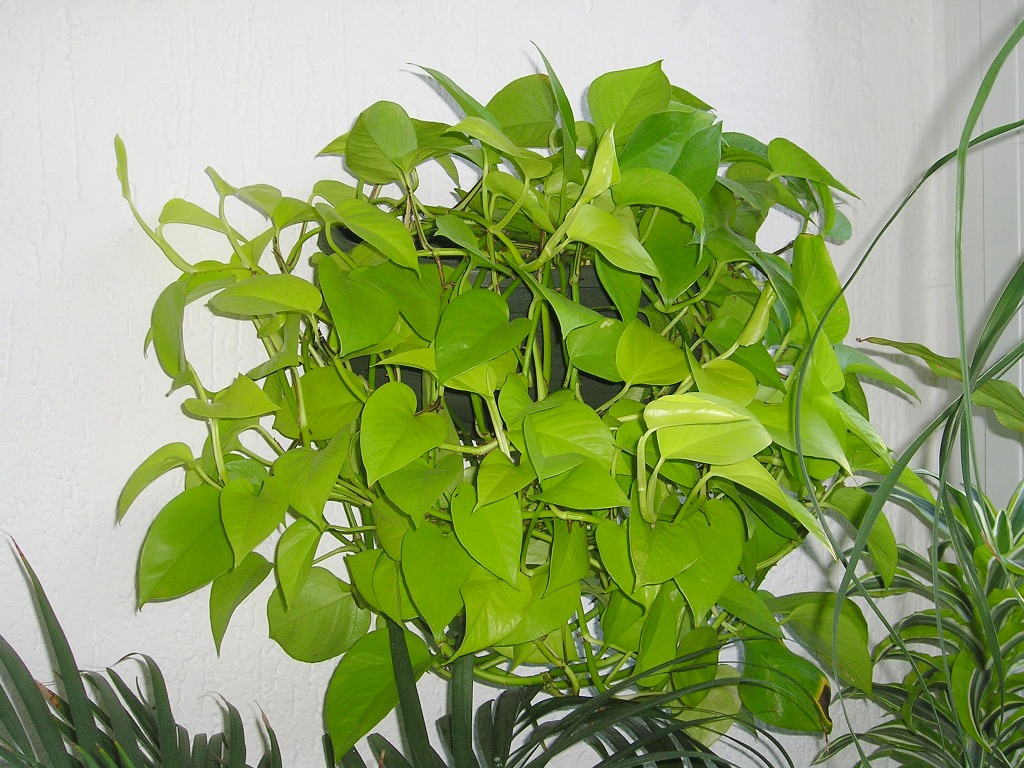 epipremnum 8 Powerful Plants That Detox the Air in Your Home (Guide)
